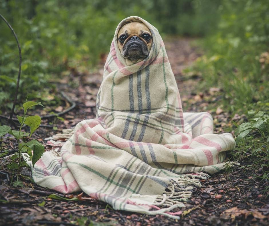 Some days you're just a sad pug with a blanket.